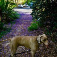 紫のじゅうたん@ジャカランダ